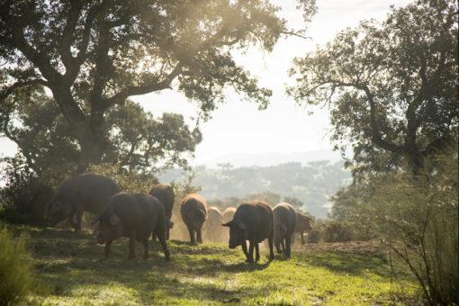 Cría de cerdos ibéricos puros de bellota, cerdos ibércios dehesa Extremadura