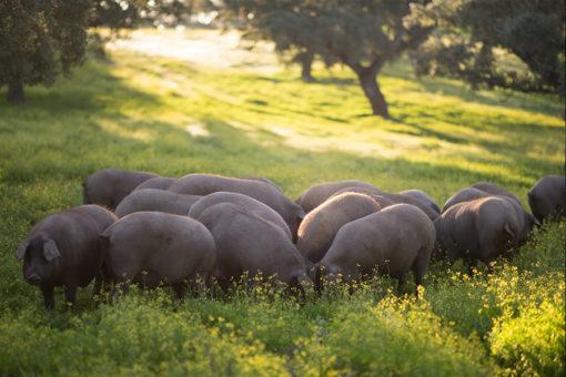Cría de cerdos ibéricos puros de bellota, cerdo ibérico, foto cerdo ibérico puro de bellota, piara de cerdos ibéricos imágenes