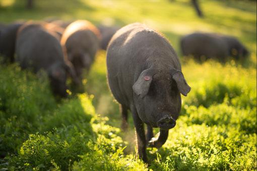 Fotografía cerdo ibérico puro de bellota, cerdo ibérico, foto cerdo ibérico puro de bellota