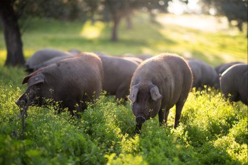 Piara de cerdos ibéricos imágenes, cerdo ibérico en la dehesa