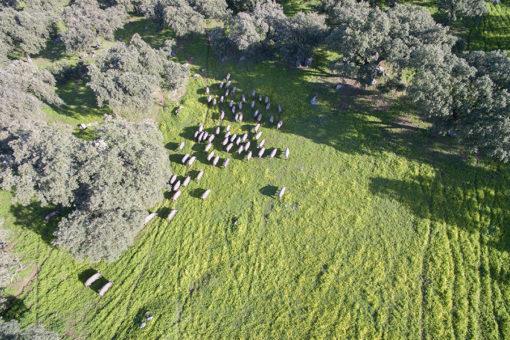 Cria de cerdos ibéricos en dehesa de Extremadura
